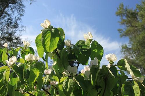 Corfu -Quince tree blossom