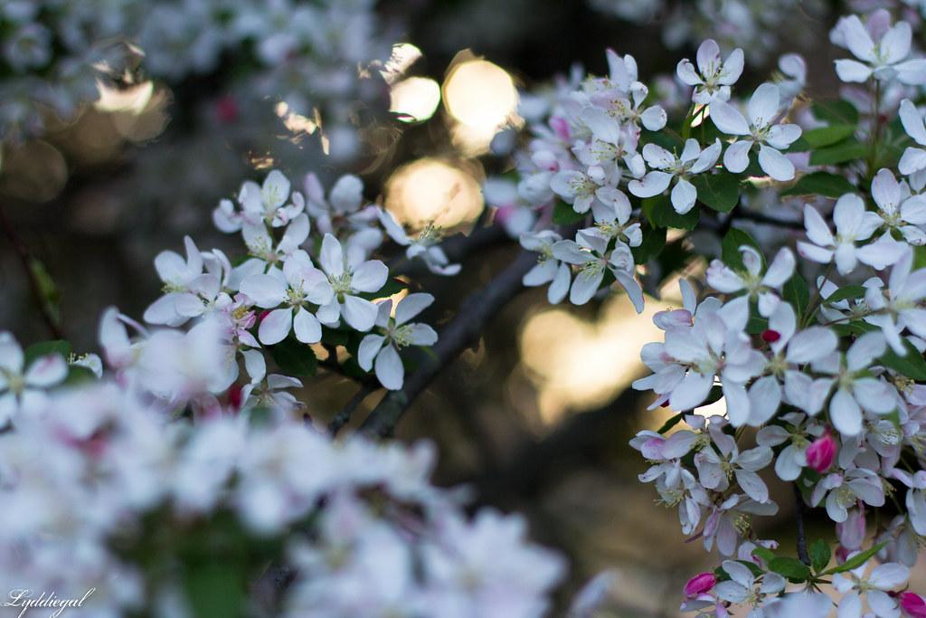 white flowering trees.jpg
