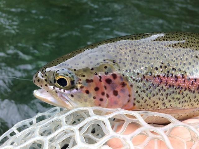mckenzie river fly fishing