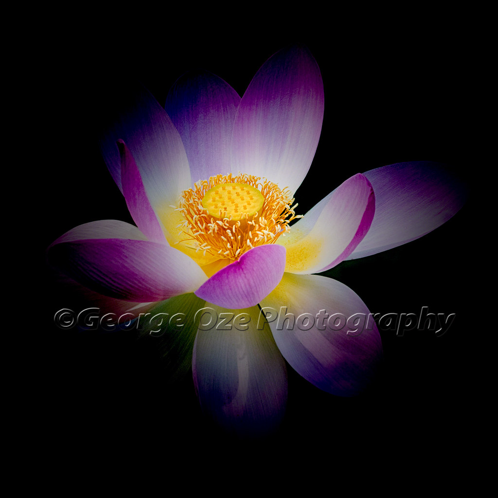 Rebirth of a luminous lotus close up view of a blooming lo flickr rebirth of a luminous lotus by george oze mightylinksfo