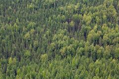 Glacier Trees