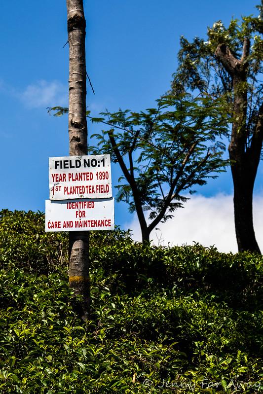 Tea field near Haputale