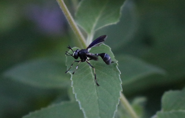 skinny black fly with narrow white stripes, looks a lot like a wasp