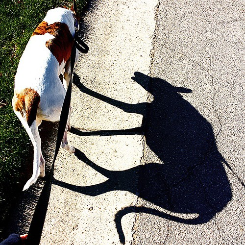 Shadow dog #Cane #DogsOfInstagram #greyhound