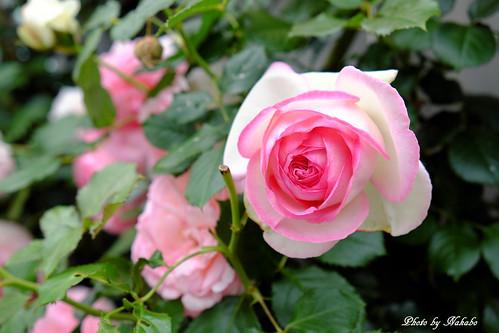 薔薇 -アメリカ山公園-