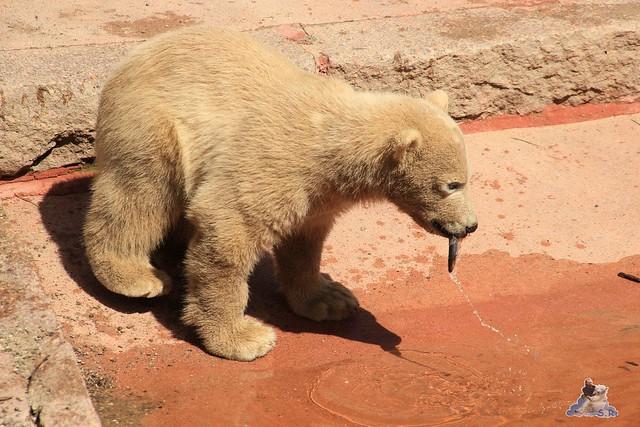 Eisbär Fiete im Zoo Rostock 23.05.2015 53