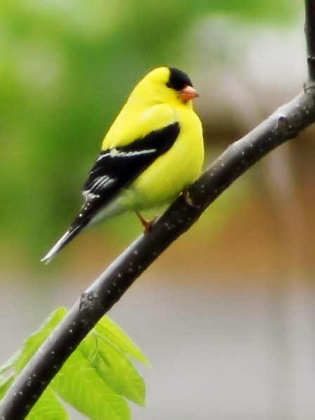 American Goldfinch 2-20150519