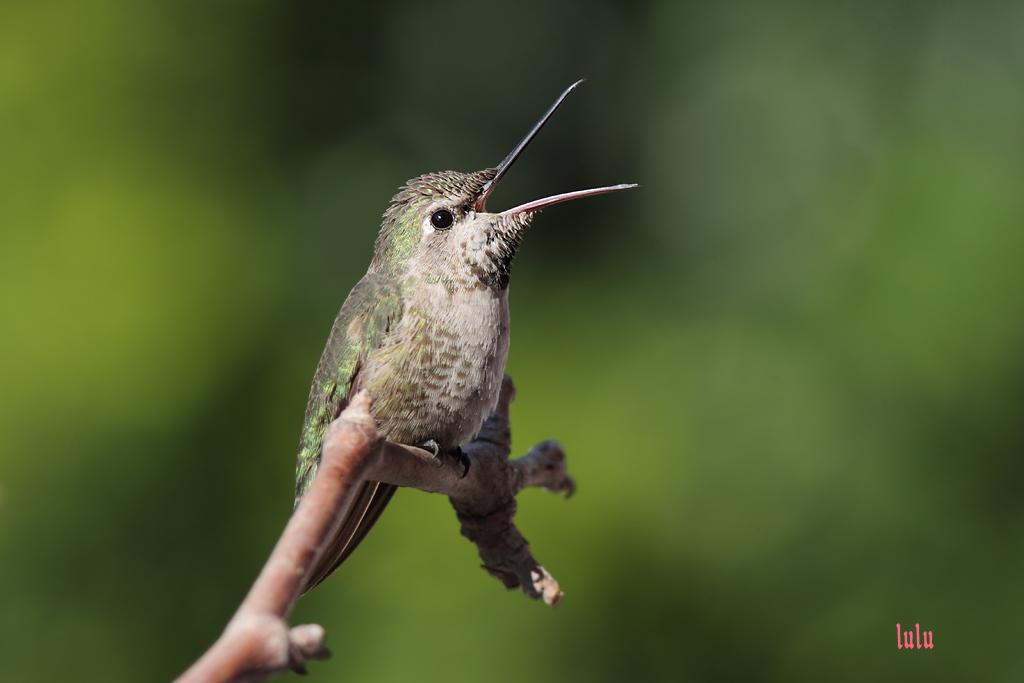 Anna's Hummingbird 050615
