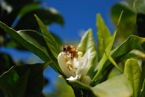 mandarin blossom and bee