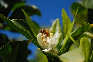 mandarin blossom and bee | by Farm Fresh To You -