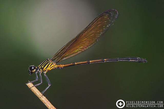 An Ocher Satinwing- Euphaea ochracea ♂