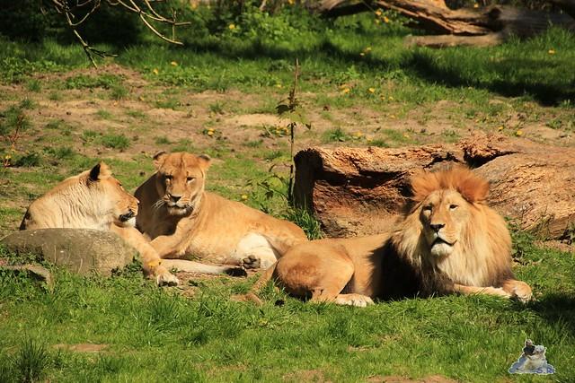 Eisbär Fiete Zoo Rostock 03.05.2015 Teil 3 88