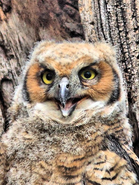 Great Horned owlet Portrai 20150507
