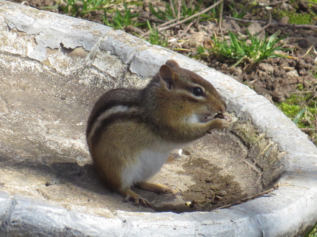 Chipmunk by speedyjr westville indiana laporte county for Jobs in laporte co