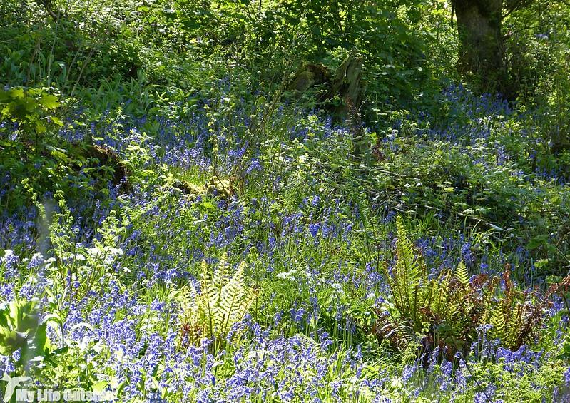 P1120696 - Bluebells, Weobley