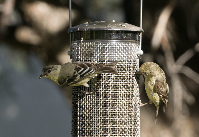 Lesser Goldfinches on Feeder