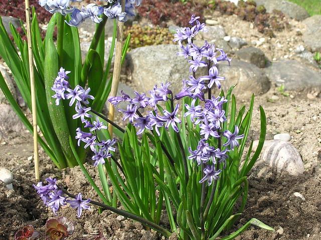 Hyacinthus orientalis 'Anastasia'