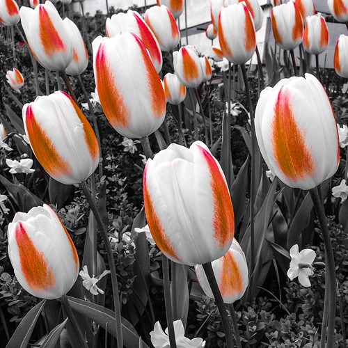stripey tulips, may 2015