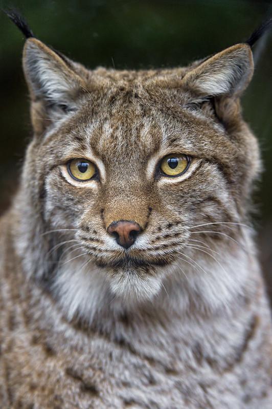 A nice lynx portrait