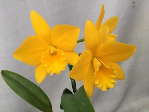 Potinara Love Spirit Nn 1 Potinara Yellow Cattleya O