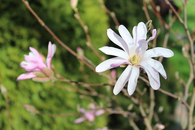 Magnolia 3