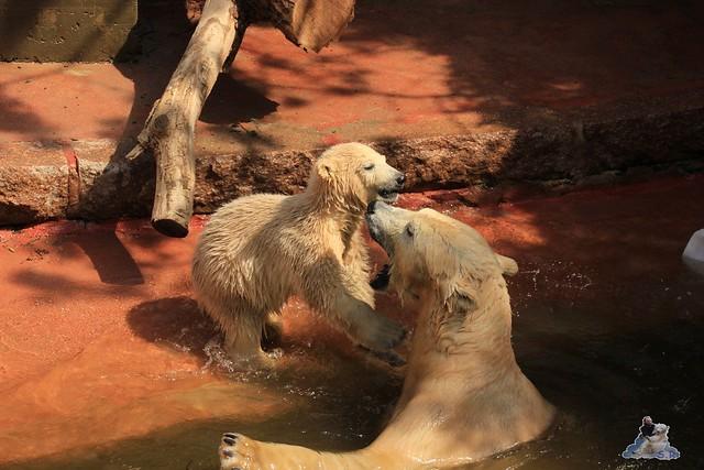 Eisbär Fiete Zoo Rostock 03.05.2015 Teil 3 48