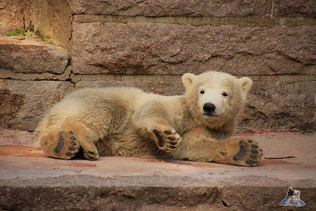 Eisbär Fiete Zoo Rostock 03.05.2015 Teil 3 157
