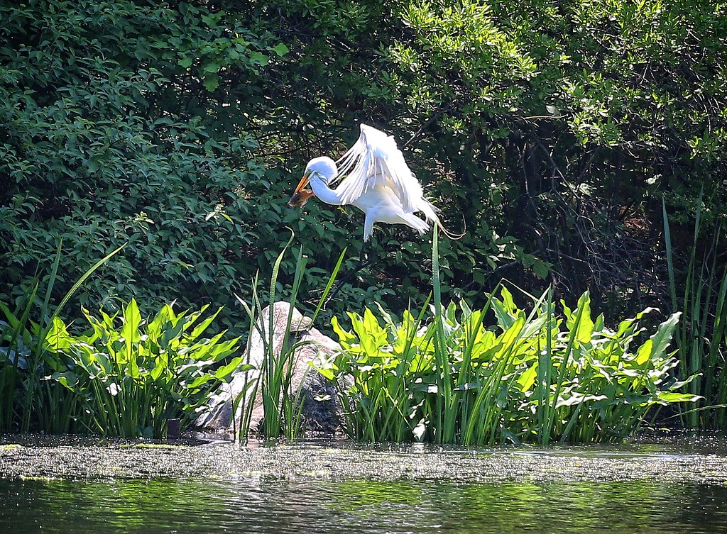 Great egret stomps on a turtle
