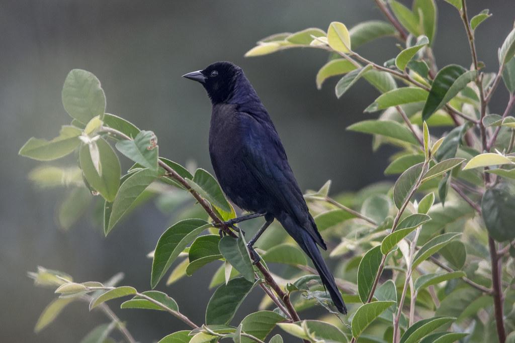 Shinny Caribbean: Molothrus Bonariensis -male- (Shiny Cowbird / Chamón)