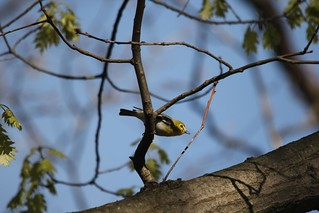 Yellow-throated Vireo | by Birding In New Jersey
