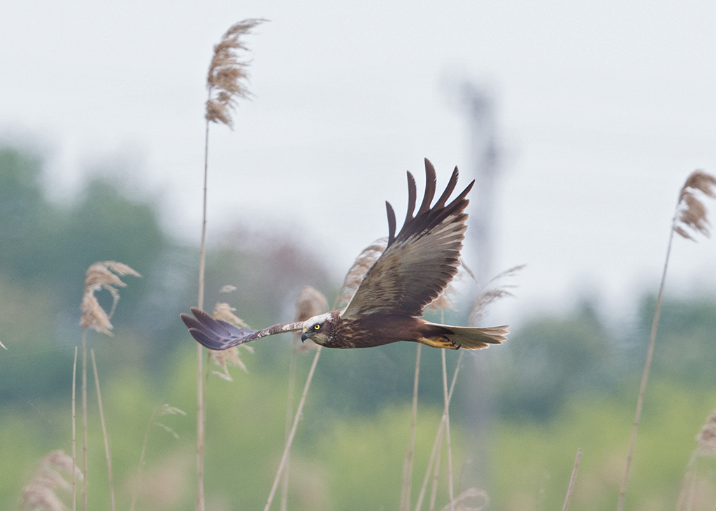 Marsh Harrier 2015-05-16 at 09-51-40