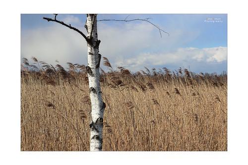 birke im hohen gras birch in the tall grass federsee. Black Bedroom Furniture Sets. Home Design Ideas