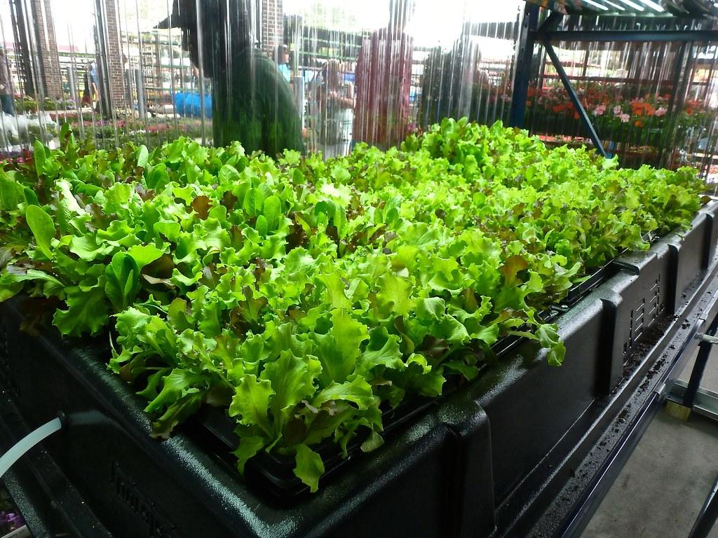 very fresh lettuce green collar foods deb nystrom flickr lettuce green collar foods by tatiana12