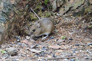 Wood Mouse | by markhows