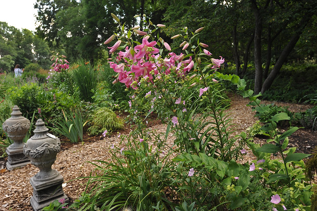 Fragrant pink lilies at Kelley-Kelley nursery