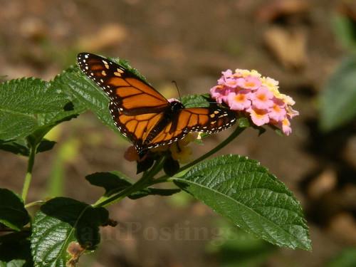 monarch lantana 2