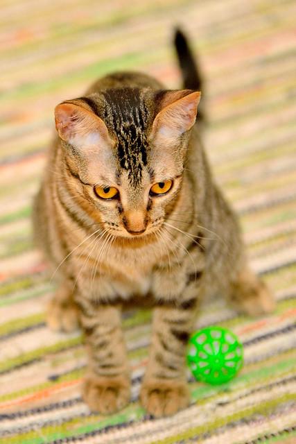 Muriel, gatita atigrada parda tímida y dulce esterilizada, de ojos cobrizos, nacida en Abril´16, en adopción. Valencia. 29613334145_31d77d1cdf_z