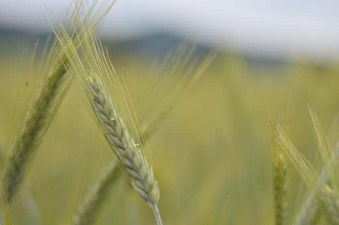 campo di grano, wildflower girl, fashion blog, estate (3)