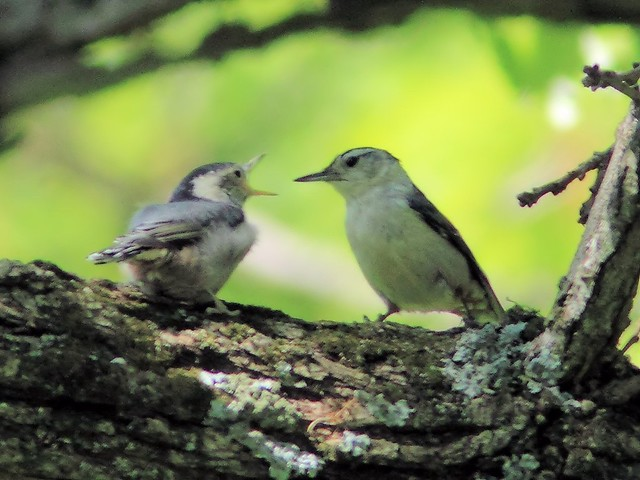 White-breasted Nuthatch fledgling begging 20150521