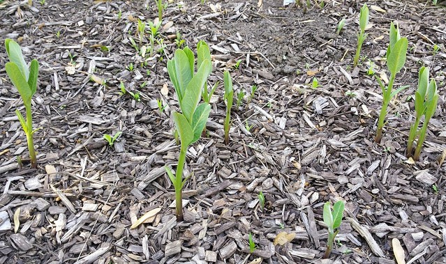 eight milkweed seedlings and dozens of tree seedlings
