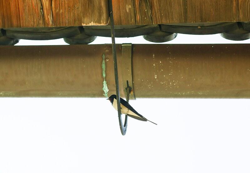Little bird sat on wire scaffold roof gutter pipe Tenryuji Shrine Japan Kyoto Buddhist Shinto Ukyo-ku Rinzai