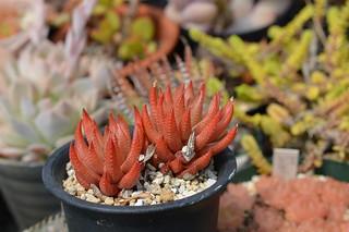 Haworthia greenii  ハオルチア グリーニー