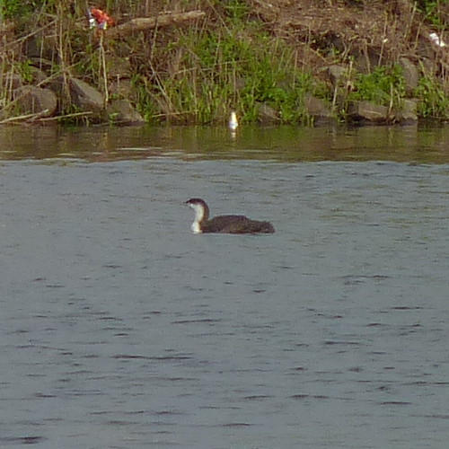 Red-throated Loon | In the Raritan River near Boyd Park | Dendroica ... Red Throated Loon