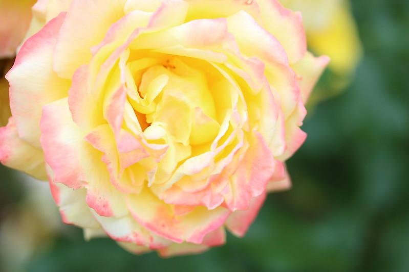 トロピカル・シャーベット (Rose)