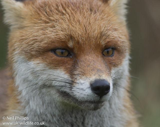 Wet fox-5