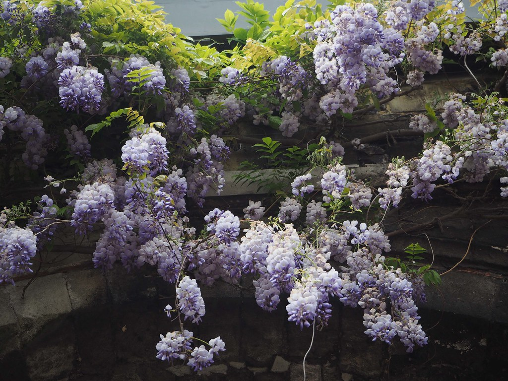 wisteria-cathedral5