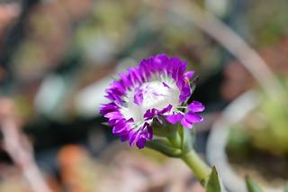 DSC_3045 Erepsia pillansii エレプシア ピランシイ 千歳菊