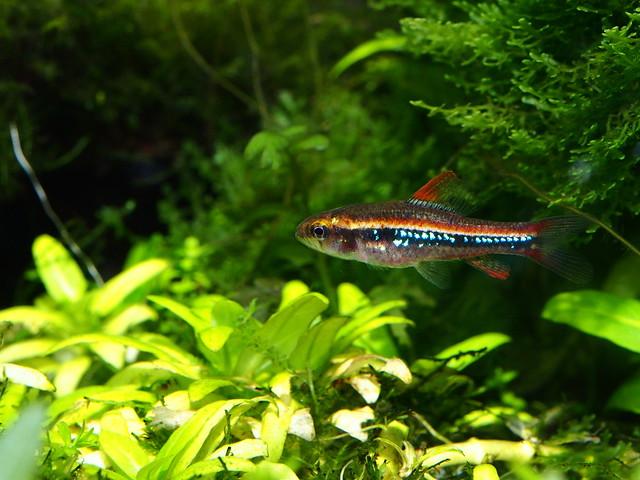P4110421 珍珠燈魚