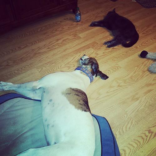 Twinkies. #DogsOfInstagram #CatsOfInstagram #Cane #Lester