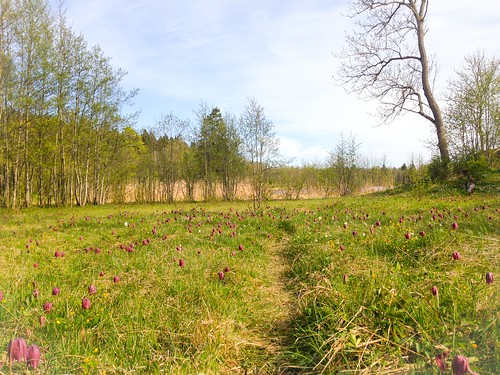 the king's meadow lily field, may 2015
